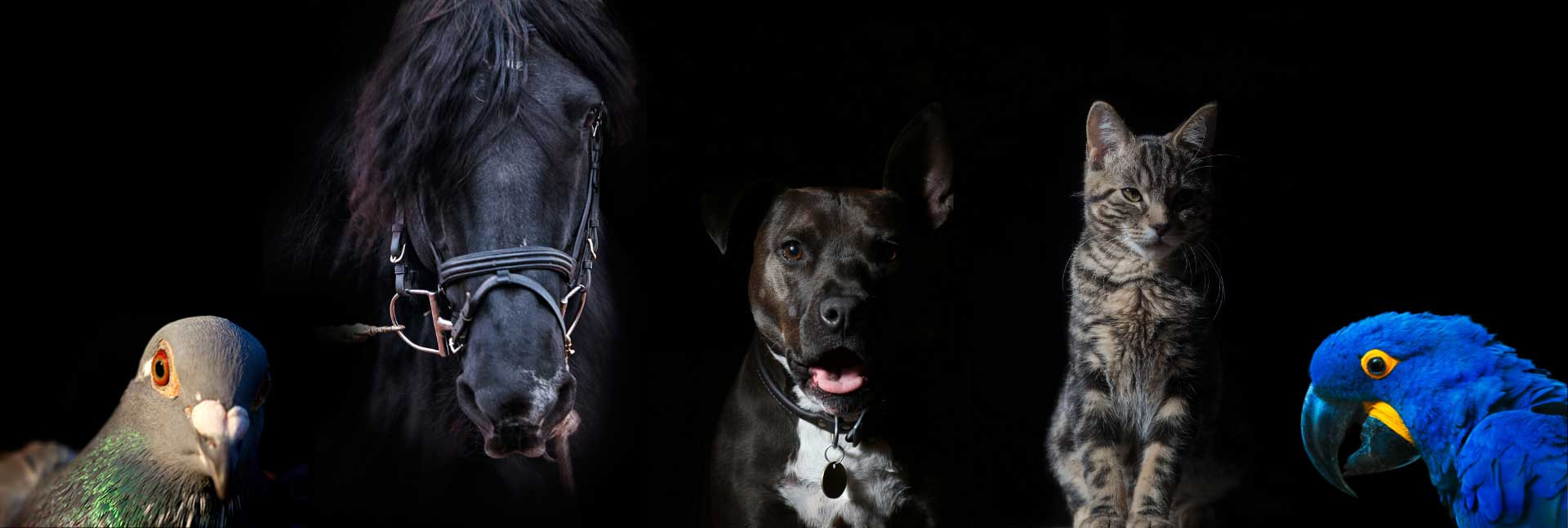 Pigeon, horse, dog, cat and parrot on black background