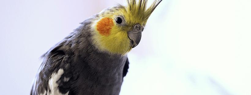 Aviform cage and aviary bird