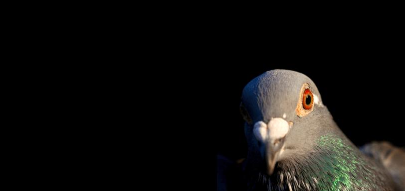 Pigeon - Aviform