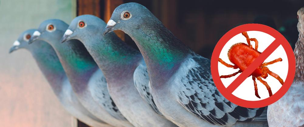 Red Mite Pigeon