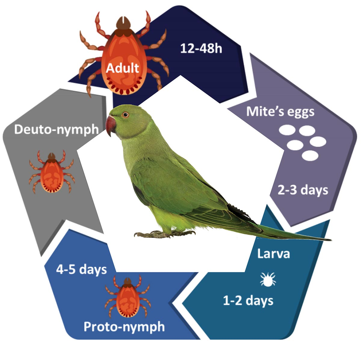 Red mite life cycle