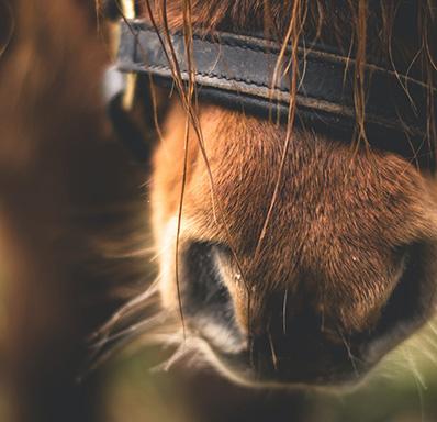 Horse nose close up