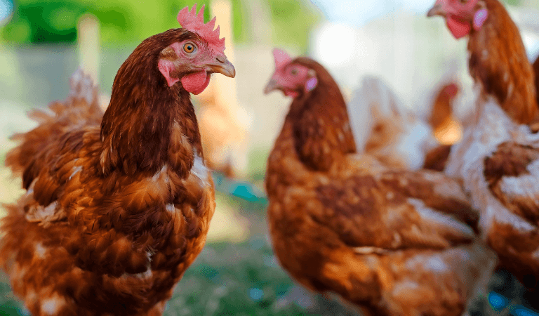 Poultry Banner Tablet